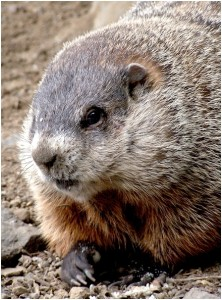 Groundhog/Wikimedia Commons