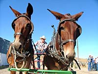 A team of beauties at Hells Canyon Mule Days