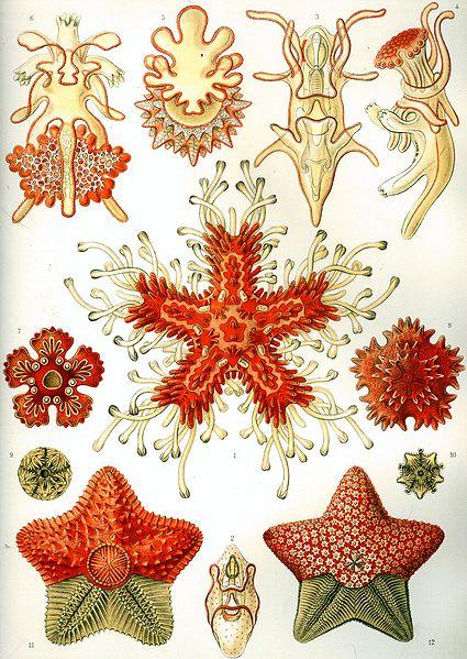 """""""Asteroidea"""" from Ernst Haeckel's Kunstformen der Natur, 1904/Wikimedia Commons"""