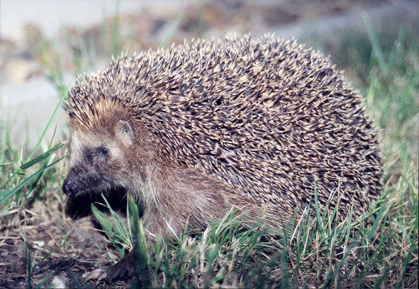 A European hedgehog, which is bigger than an African hedgehog./Wikimedia Commons