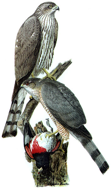 Sharp-shinned hawks, chromolithograph, 1908, Louis Agassiz Fuertes, United States Department of Agriculture Yearbook/Wikimedia Commons